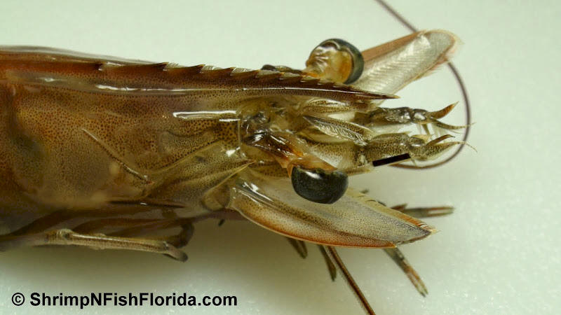 Cool Close-up Photo's of  Florida Winter Shrimp